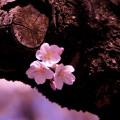 [写真撮影] 桜を綺麗に撮るコツ・テクニック集〜10の撮り方ヒント〜