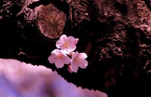 photo_sakura